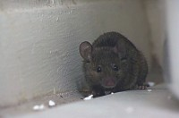 Don't let rats and mice threaten food safety audit scores. Image courtesy of Orkin