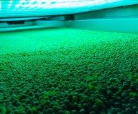 Peas, UV light
