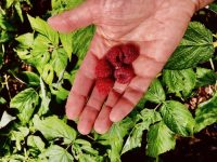 Food fraud, raspberries