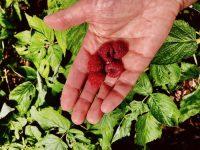 Food fraud, raspberries
