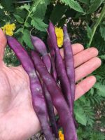 Purple beans, food fraud
