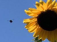 Food fraud, honey, sunflower